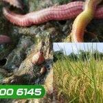 Độc đáo trồng lúa sạch trên ruộng rươi cho thu nhập cao | VTC16